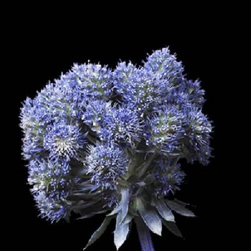 Eryngium Purple Magical Series 15 Stems