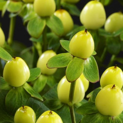 Hypericum Solid Color Pack By the Box 15 Bunches