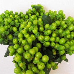 Hypericum Assorted By the Box 15 Bunches