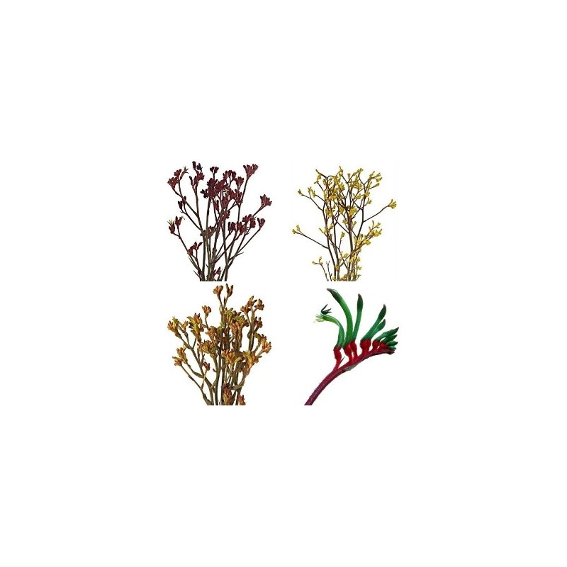 Kangaroo Paws By the Box 10 Bunches