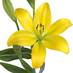 LA Royal Lillies 5 Bunches