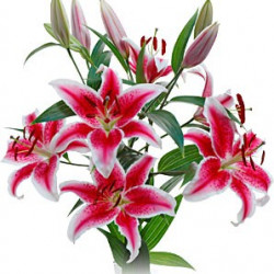 Stargazer / Starfighter Lillies By the Bunch.