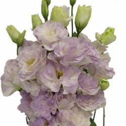 Lisianthus By the Bunch