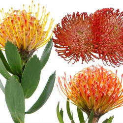 Protea PIn Cushion 24 Stems
