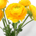 Ranunculus By the Box 70 stems