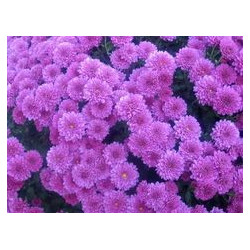 Buttons Purple Solid Pack 12 Bunches