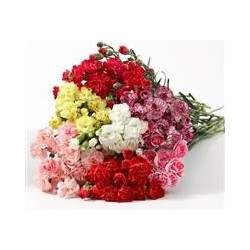 Mini Carnations By the Box 15 Bunches