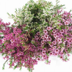 Waxflower Assorted by the Box 14 Bunches