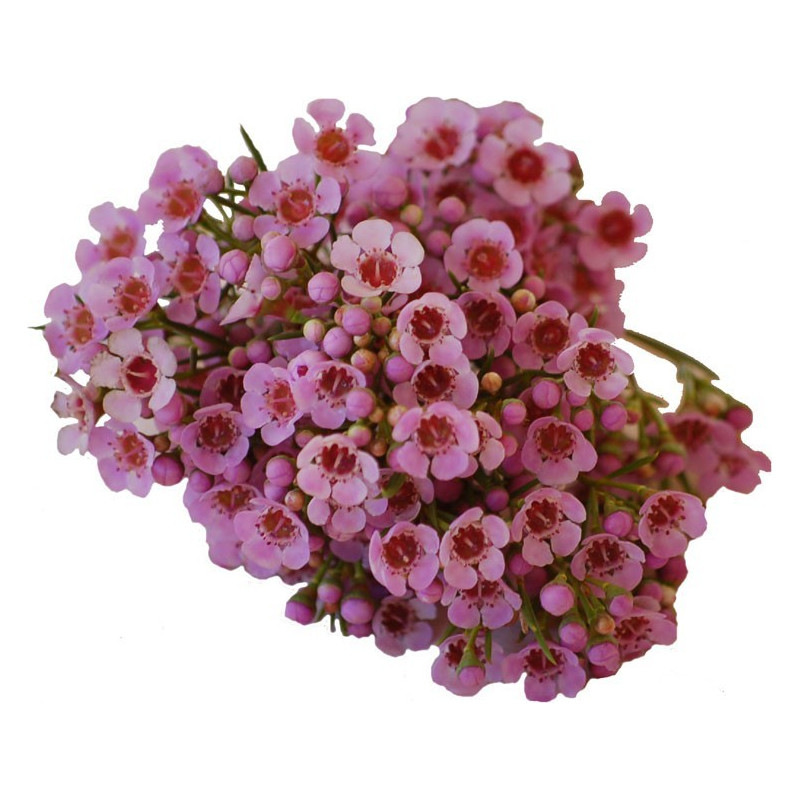 Waxflower Pink by the Box 14 Bunches