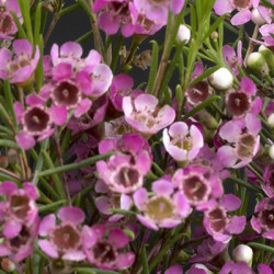 Waxflower Purple by the Box 14 Bunches