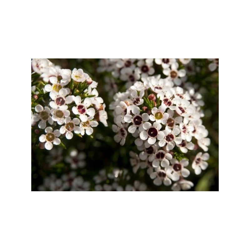Waxflower White by the Box 14 Bunches