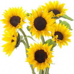 Sunflowers Petite By the Box 100 Stems