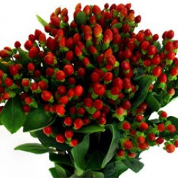 Hypericum Red By the Bunch