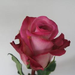 Classic Cezanne Roses