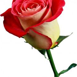 Friendship Roses