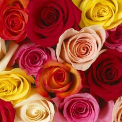 Premium Roses Assorted HALF BOX 200/250 Stems