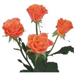 Spray Roses Solid Orange By the Box 10 BUnches