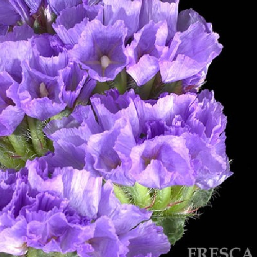 Statice Purple 11 Bunches