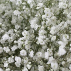 Gypsophila By the Box 26 Bunches