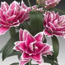Rose Lily By the Box 5 Bunches Multi Bloom