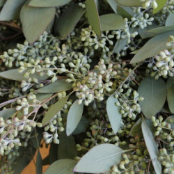 Eucalyptus Seeded ***ONLY CUPPED****