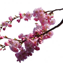 Cherry Pink Branches
