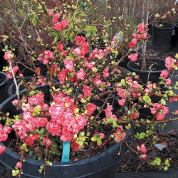 Quince Pink Branches