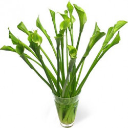Calla Lily Green Goddess 5 Stem Bunches
