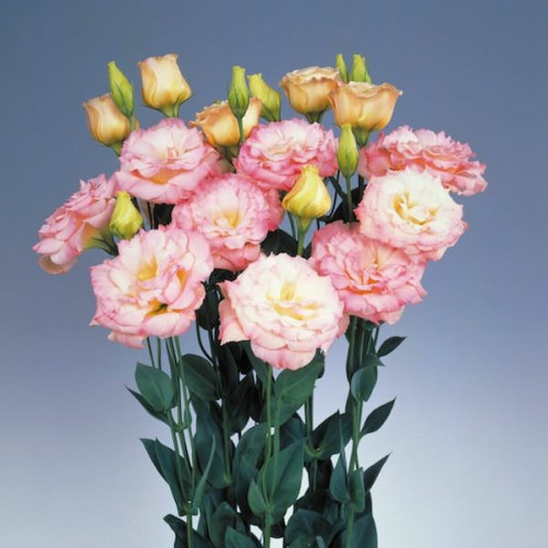 """Lisianthus """"Brillianthus"""" By the Box 9 Bunches"""