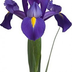 Iris Assorted 6 Bunches