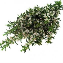 "Eriostemon Green ""Blooming"""