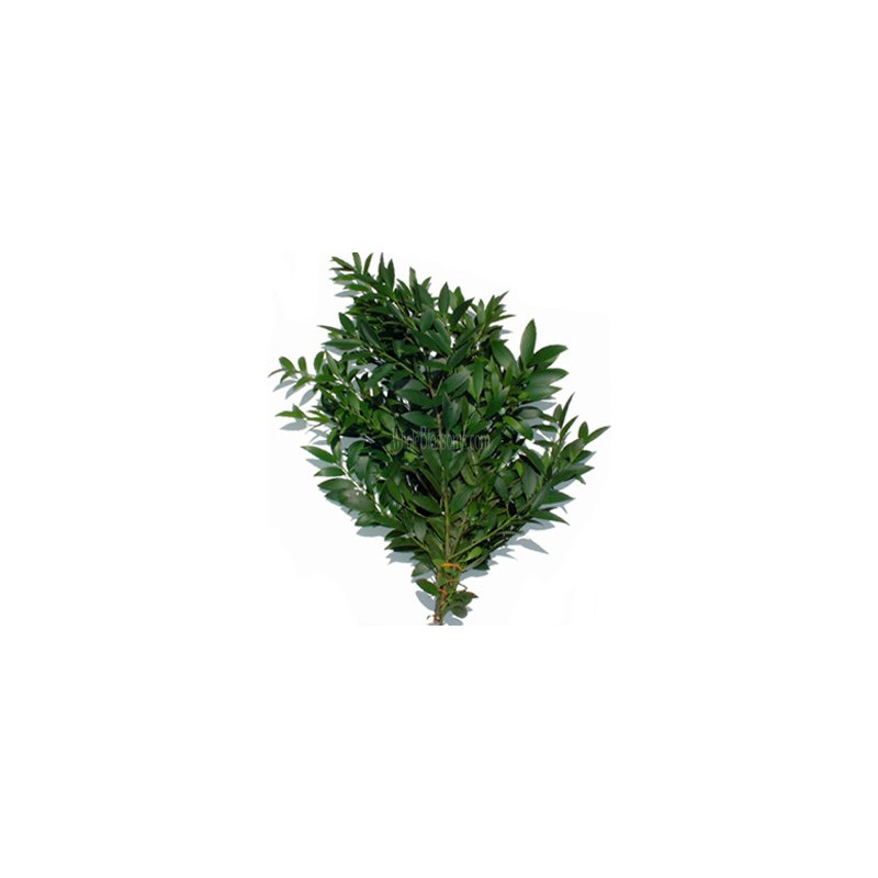 Nagi Podocarpus