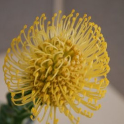 Protea PIn Cushion PER STEM