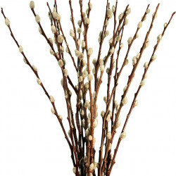 Pussywillow By the Bunch