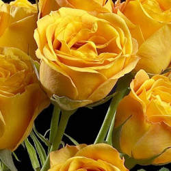 Spray Roses Solid Yellow By the Box 10 BUnches