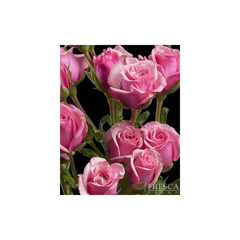 Spray Roses Solid Medium PInk By the Box 10 BUnches