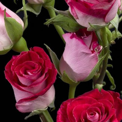 Spray Roses Bi Color Cherry Folies  By the Box 10 BUnches