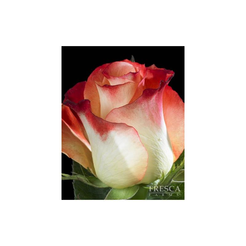 Cabret Roses