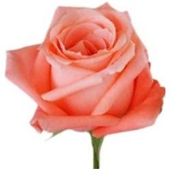 Coral Garden Rose coral roses - florasource