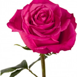 Cherry O Hot Pink  Roses