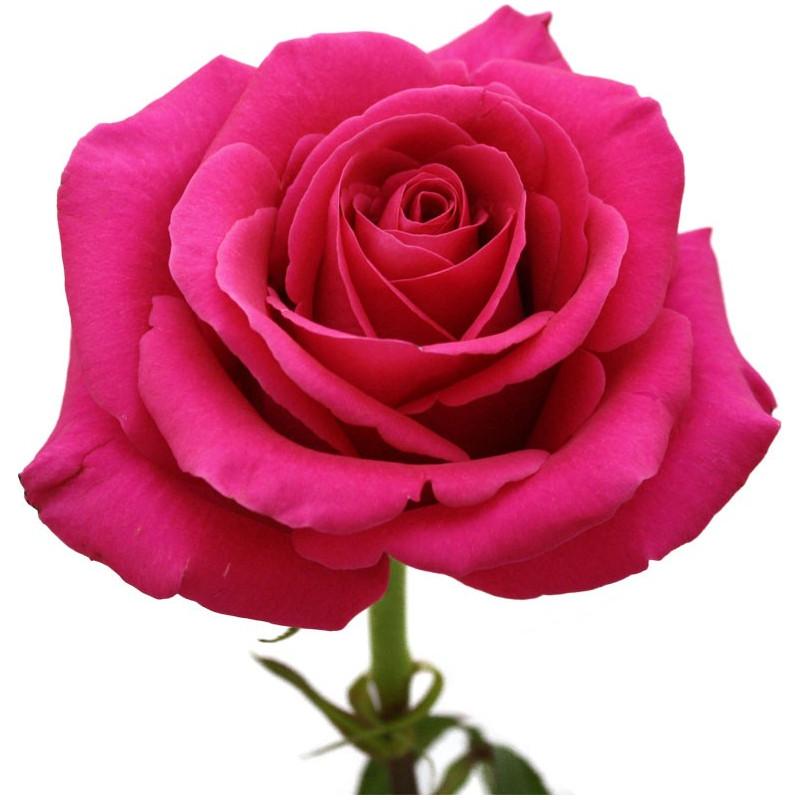 Pink Floyd  Hot Pink  Roses