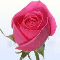 Kiko Hot Pink  Roses