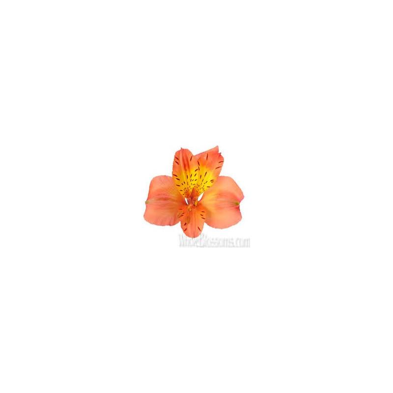 Alstromeria Orange By the Box