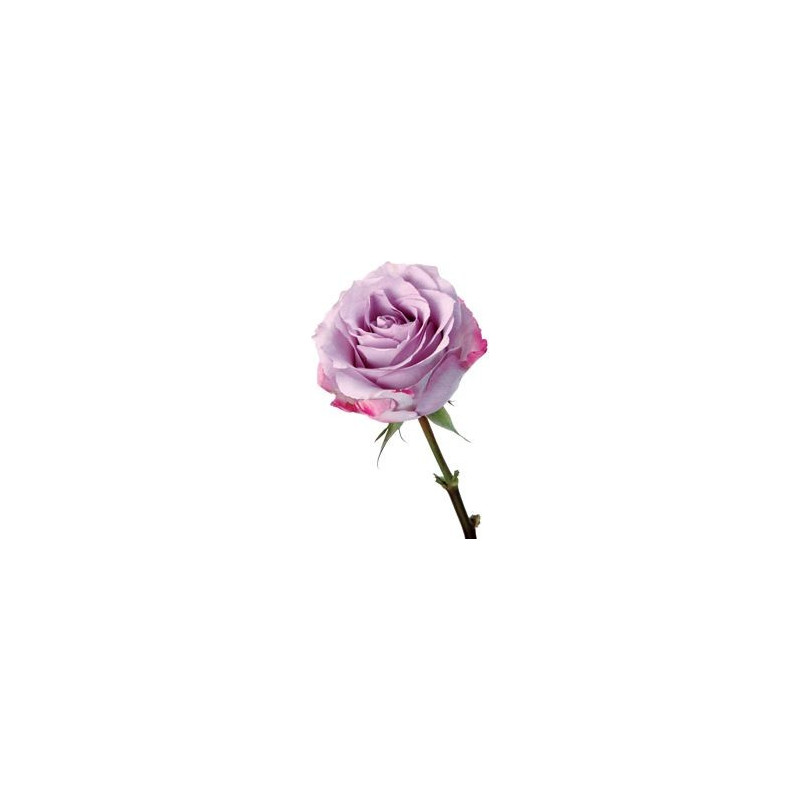 Purple Haze Lavender Rose