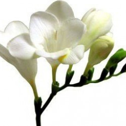 Freesia White By the Box 10 Bunches