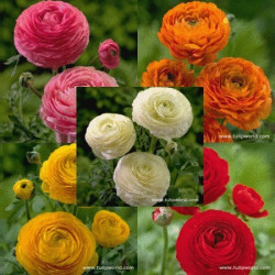 Ranunculus By the Bunch