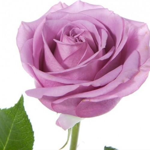 Cool Water Lavender Rose