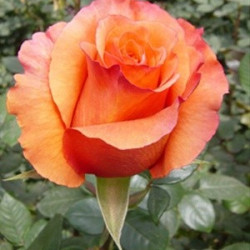 Milva Orange  Rose