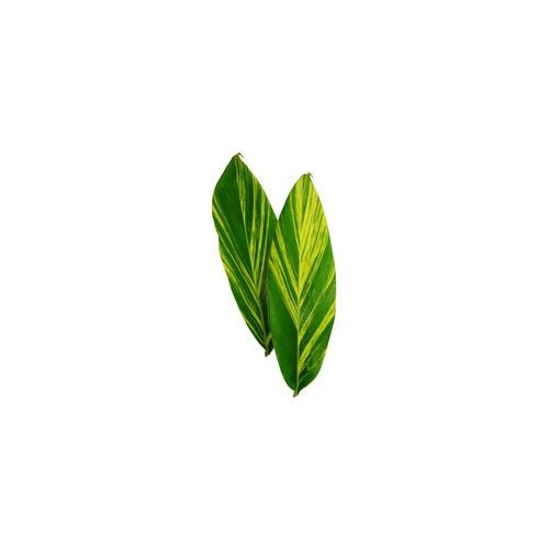 Ginger Leaves Variegated
