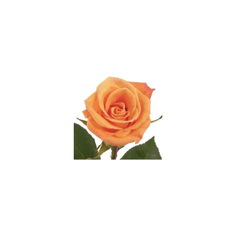 Orange Unique Orange Rose